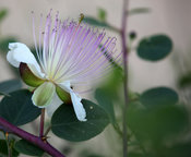 Wildflowers of Palestine -Caper