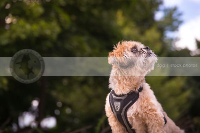 portrait of groomed little cream dog looking skyward with trees