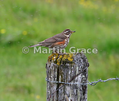 Redwing (Turdus iliacus ssp coburni) surrounded by the Chironomid and Simulium flies which gave Myvatn ('fly lake') its name, (Lake) Myvatn, Nordurland eystra (Northeastern Region), Iceland