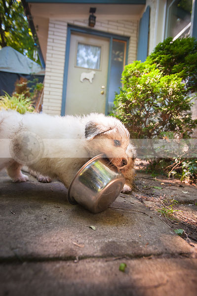 dirty white puppy dog fetching water bowl in yard at house