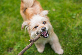 Terrier dog gnawing on stick looking up from grass