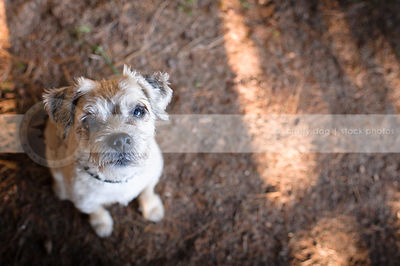 blond terrier dog staring from pine needles