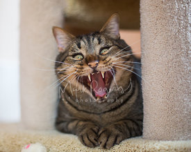 Yawning tabby cat with tongue out and funny face