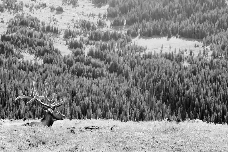 ELK RESTING IN THE HIGH TUNDRA ROCKY MOUNTAIN NATIONAL PARK COLORADO BLACK AND WHITE