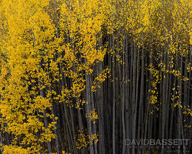 Aspen Trunks | San Juan Mountains, CO