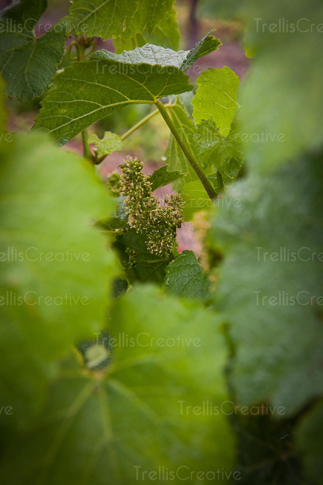 add to stock, baby grape cluster, bud break, flowering, futures, germinate, germination, grape growing, new beginnings, new life, new vintage, stock, vines, viticulture, wine grapes