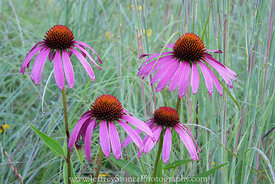 Coneflowers in Grassland
