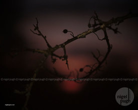 Hawthorn spills the dusk: