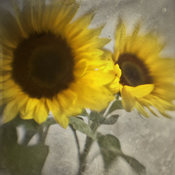 Sunflowers | Wall Art | Botanical Gallery