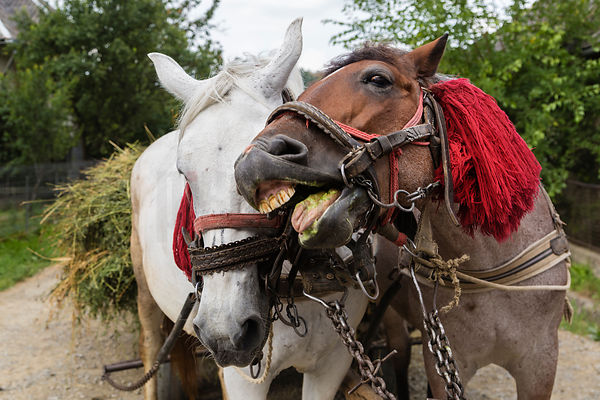Portrait of Romanian Draft Horses