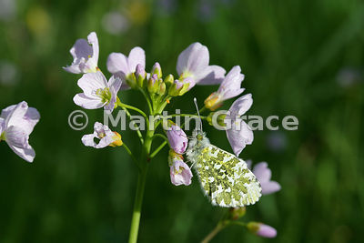 Female Orange Tip butterfly (Anthocharis cardamines) on Lady's Smock (Cuckoo Flower) (Cardamine pratensis) with orange 2- to 3- day old egg visible