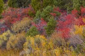 Autumn Desert Sumac and Rabbitbrush in Great Basin National Park