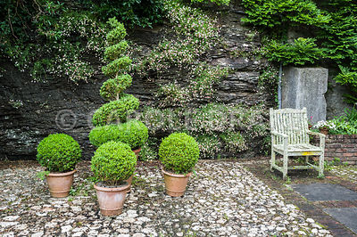 A group of clipped box shrubs in front of stone wall colonised by Mexican daisy, Erigeron karvinskianus, with lichen encrusted chair to the right. Bosvigo, Truro, Cornwall, UK
