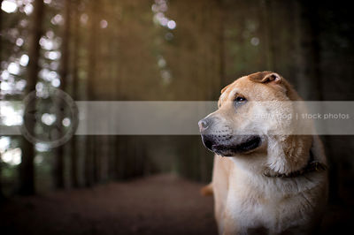 portrait of serious dog in pines with minimal background