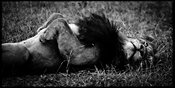 6010-Sleeping_lion_Laurent_Baheux