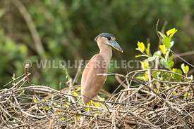 boat_billed_heron_brush-1-Edit