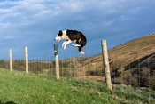 Border Collie sheepdog jumping over a wire fence, Cumbria, UK.