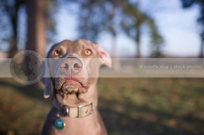 portrait of grey gundog  park with bokeh background
