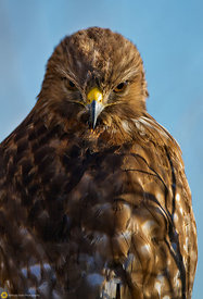 Red-tail Hawk #5