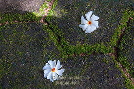 Two flowers on patio floor, Kerala, INDIA