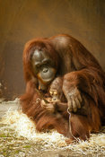 Mom and baby Orang Utan