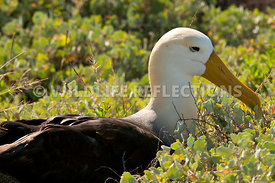 waved_albatross_espanola_70