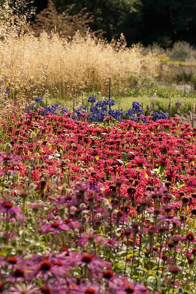 Main borders full of flowering perennials including Echinacea purpurea 'Rubinstern', Monarda 'Gardenview Scarlet', agapanthus and Stipa gigantea 'Gold Fontaene'. RHS Garden Harlow Carr, Harrogate, North Yorkshire, UK