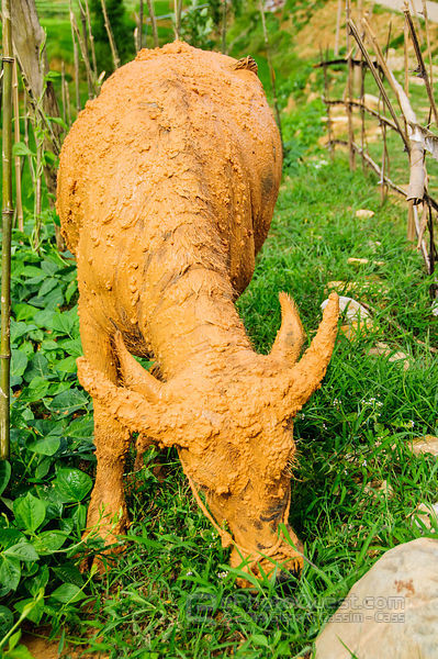 Buffalo Covered in Bright Brown Mud