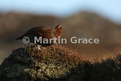 Red Grouse (Lagopus lagopus scotica) looking upwards to check for predators, early January, Lochindorb, Scottish Highlands