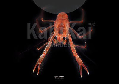 28_Squat_lobster_NPAC_Luis_Gutierrez-Heredia_UCD_Tara_Oceans_2011