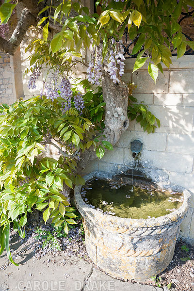 Water spout in shape of animal head on the wall of the Casita framed by wisteria. Iford Manor, Bradford-on-Avon, Wiltshire