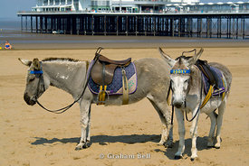 Donkeys on beach with Grand Pier in distance, Weston-Siper-Mare, Somerset, England.