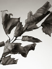 Dried Sycamore Leaves