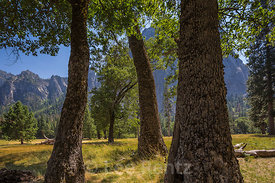 Yosemite Valley Oaks in Yosemite National Park