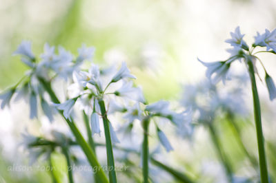 Masses of wild garlic flowers: urban wildflowers, Citrus Heights