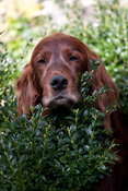 Irish setter looking over hedge