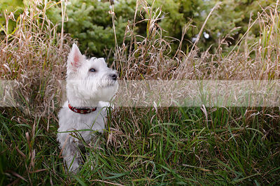 groomed white west highland terrier dog hiding in dried grasses