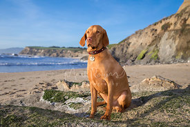 Hungarian Vizsla Dog with Serious Skeptical Look sitting on Beach with Cliffs and Blue Sky