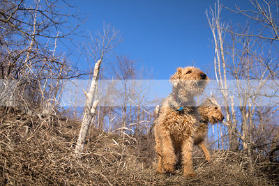 low angle photograph of two barking airedale terriers on hill of dried grass