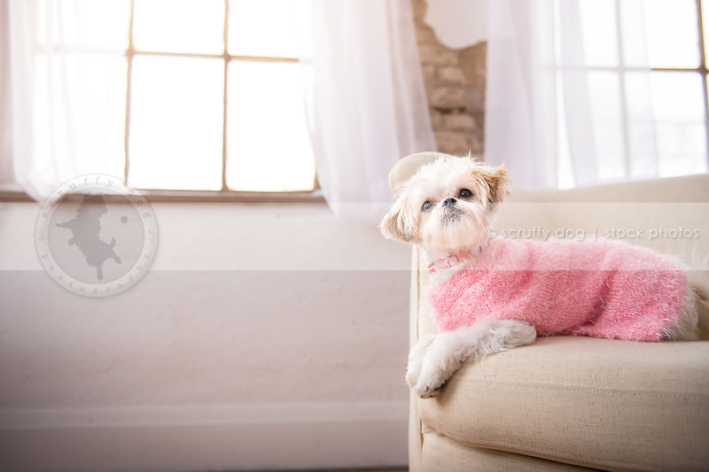 sweet white dog in pink sweater on studio chair by windows indoors