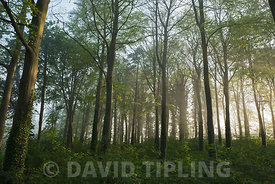 Woodland on misty morning in spring Great Walsingham Norfolk