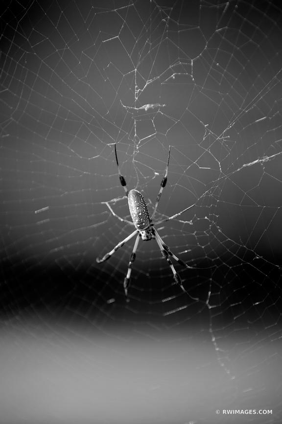 GOLDEN SILK ORB WEAVER SPIDER ST. FRANCISVILLE LOUISIANA BLACK AND WHITE