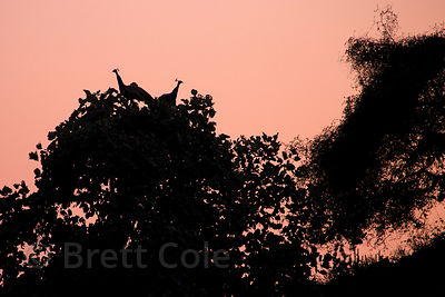 Peacocks in a tree at dusk, Ajaypal, Rajasthan, India