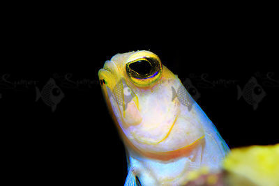 Saltwater_goby