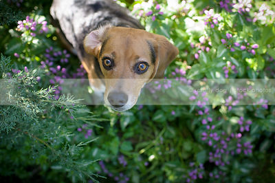 serious beagle dog with flipped ear staring upward from flowers