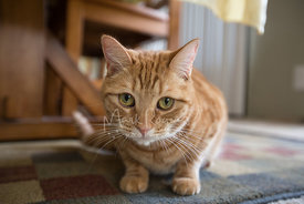 orange tabby cat crouching on rug