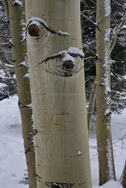 Aspen trunks in snow