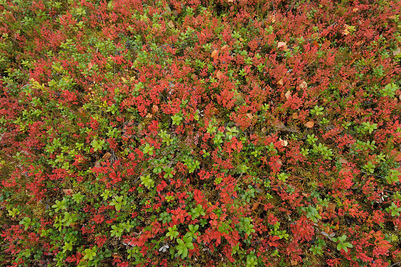 Cowberry (Vaccinium vitisidaea) and Blueberry (Vaccinium myrtillus) sprigs, Oulanka, Finland, September 2008