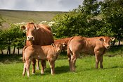 Limousin cow and calf on Lancashire hill farm.