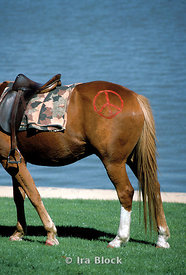 A horse with red peace sign on his leg, Australia